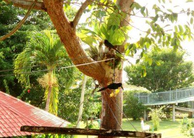 collared-aracaris