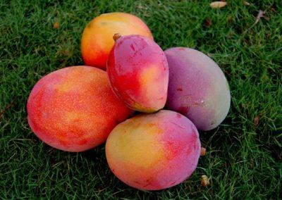 mango-harvest