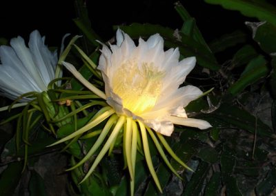 night-blooming-flower