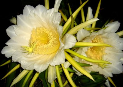 nightblooming-cereus
