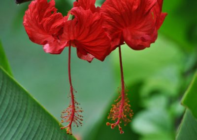 two-hibiscus